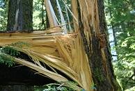 Shattered tree in Mt. Rainier National Park